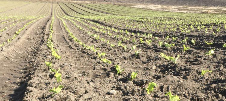 Salat-Acker Frühjahr 2017